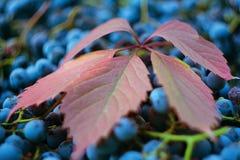 Close-up da folha da uva vermelha contra um fundo das uvas foto de stock royalty free