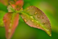Close up da folha verde e vermelha com gotas da água nele foto de stock