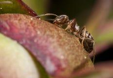 Close up da formiga de Pharaoh fotografia de stock