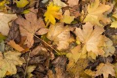 Close up da foto da cobertura grossa dourada amarela colorida do outono das folhas de bordo secas caídas no período decíduo à ter Imagem de Stock