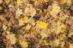 Close up da foto da cobertura grossa dourada amarela colorida do outono das folhas de bordo secas caídas no período decíduo à ter Fotos de Stock