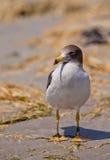 Close-up da gaivota de Franklin Imagens de Stock