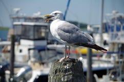 Close-up da gaivota de mar com barcos do porto Imagem de Stock