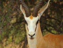 Close-up da gazela Foto de Stock