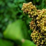 Close up da grão da colheita do sorgo Fotografia de Stock Royalty Free