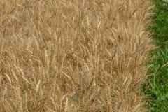Close-up da grão madura do trigo do milho com whitespace para o texto foto de stock royalty free