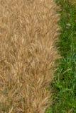 Close-up da grão madura do trigo do milho com whitespace para o texto foto de stock
