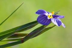 Close up da grama de olhos azuis Fotos de Stock