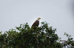 Close up da águia americana madura que roosting altamente na parte superior da árvore Imagens de Stock