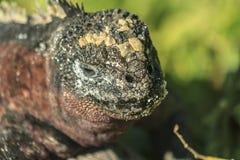Close up da iguana das Ilhas Galápagos imagem de stock royalty free