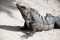 Close-up da iguana estoico Fotografia de Stock Royalty Free