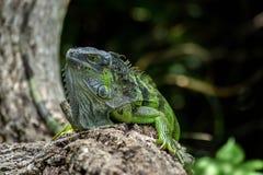 Close up da iguana verde que rasteja acima no ramo de árvore fotografia de stock royalty free