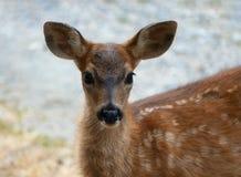 Close-up da jovem corça do bebê Imagens de Stock
