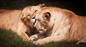 Close-up da leoa fotos de stock