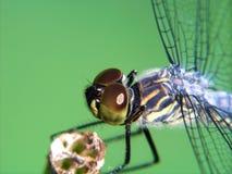 Close-up da libélula Fotografia de Stock