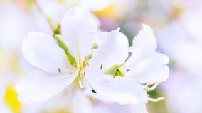 Close up da luz bonita de Variegata do Bauhinia - flor cor-de-rosa Imagens de Stock