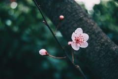 Close-up da luz pequena - flores cor-de-rosa fotos de stock royalty free