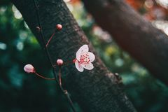 Close-up da luz pequena - flores cor-de-rosa imagem de stock