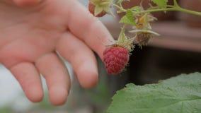 Close-up da mão da criança, arrancando uma baga madura da framboesa vermelha de Bush filme