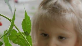 Close-up da mão da criança, arrancando uma baga madura da framboesa vermelha de Bush video estoque