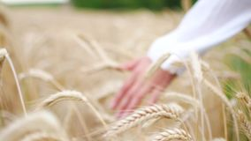 Close-up da mão do ` s da mulher que corre através do campo de trigo, tiro da zorra video estoque