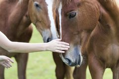 Close-up da mão da jovem mulher que acaricia a cabeça de cavalo bonita da castanha no fundo ensolarado verde borrado do verão Amo fotografia de stock royalty free