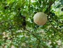 Close up da madeira-maçã ou do Makwid Fotografia de Stock Royalty Free