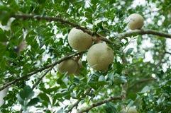 Close up da madeira-maçã ou do Makwid Fotos de Stock