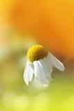 Close up da margarida Imagens de Stock