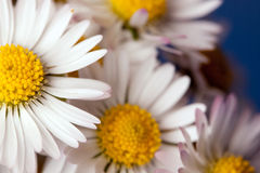 Close up da margarida Imagens de Stock Royalty Free