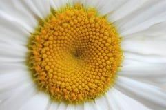 Close-up da margarida Fotografia de Stock