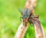Close up da mosca comum da casa Fotografia de Stock Royalty Free