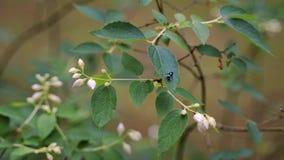 Close up da mosca na flor bonita do jasmim na floresta do verão video estoque