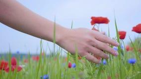 Close-up da mulher irreconhecível que toca na flor vermelha com sua mão em um campo da papoila Conex?o com a natureza Lazer dentr vídeos de arquivo