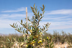 Close up da oliveira verde Foto de Stock