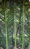 Close up da orelha do trigo Imagem de Stock