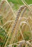 Close-up da orelha madura imagens de stock