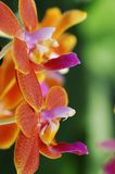 Close-up da orquídea Fotografia de Stock Royalty Free