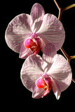 Close up da orquídea Imagens de Stock