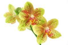 Close up da orquídea Imagem de Stock