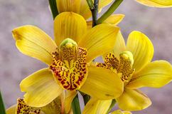 Close-up da orquídea bonita de Phalaenosis do amarelo da flor DOF raso Fotos de Stock Royalty Free