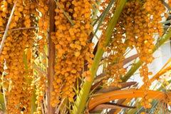 Close up da palmeira Foto de Stock Royalty Free