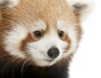 Close-up da panda vermelha nova ou do gato de brilho Imagens de Stock Royalty Free