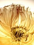 Close-up da papoila (149) Foto de Stock Royalty Free
