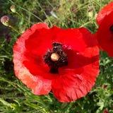 Close up da papoila vermelha Imagens de Stock Royalty Free