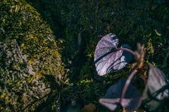 Close-up da parte traseira de uma folha roxa com uma forma do coração fotos de stock royalty free