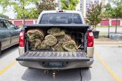 Close-up da parte traseira do camionete com protetor da cama e rolos da grama na parte traseira com a bagageira para baixo foto de stock