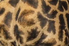 Close-up da pele de um girafa do Masai fotos de stock royalty free