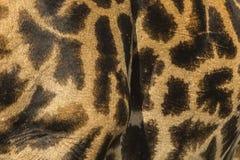 Close-up da pele de um girafa do Masai fotografia de stock