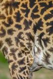 Close-up da pele de um girafa do Masai imagem de stock